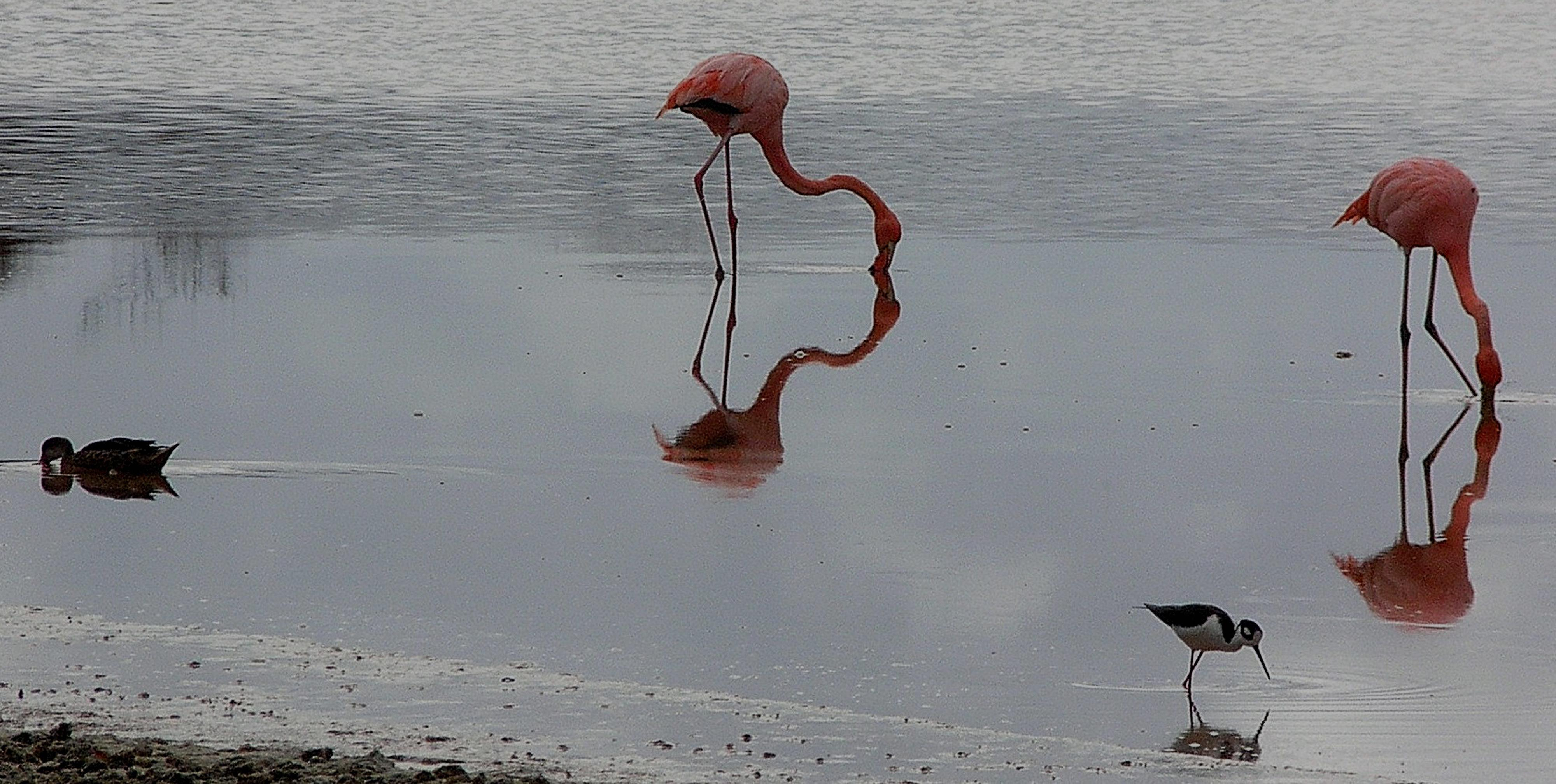 Flamants roses se nourrissant